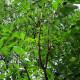 Ailante Glanduleux (Ailanthus Altissima)