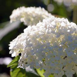 Hortensia Paniculé 'Unique' (Hydrangea Paniculata 'Unique')