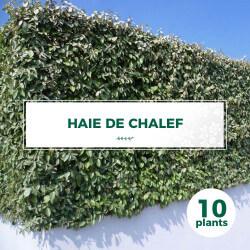 Kit Haie Chalef (Eleagnus Ebbingei)
