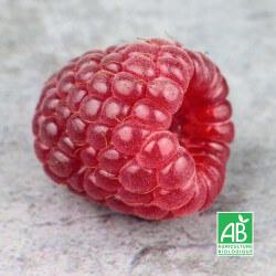 Framboisier 'Tulameen' (Rubus Idaeus 'Tulameen')