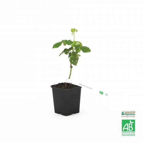Hybride Mûrier/Framboisier (Rubus 'Buckingham')