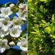 Kit Haie Brise Vue pour Balcon ou Terrasse - 5 jeunes plants