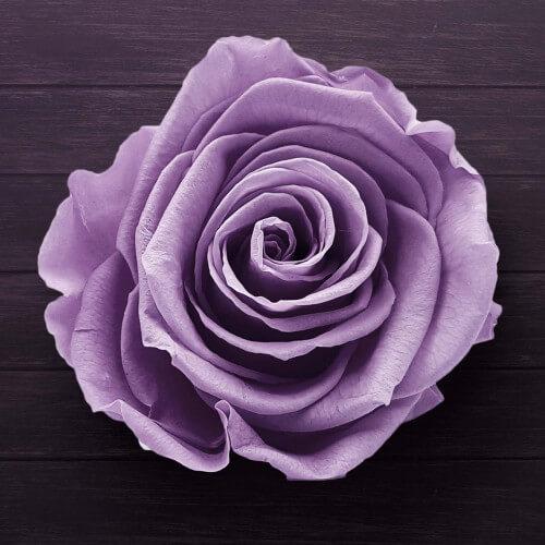 Rosier 'Violette Parfumée'
