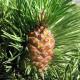 Pin à crochets (Pinus Uncinata)