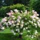 Hortensia Paniculé 'Grandiflora' (Hydrangea Paniculata 'Grandiflora')