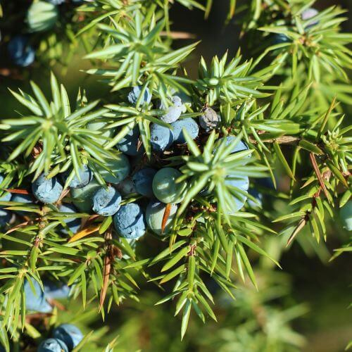 Genévrier Commun (Juniperus Communis)