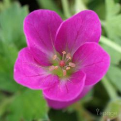 Bec De Grue 'Orkney Pink' (Géranium 'Orkney Pink')