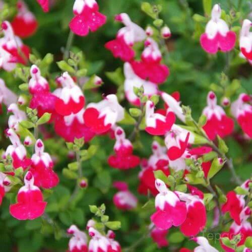 Sauge Bicolore 'Little Kiss' (Salvia Microphilla 'Little Kiss')