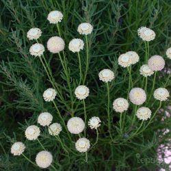 Santoline à Feuilles De Romarin 'Virens' (Santollina Rosmarinifolia 'Virens')