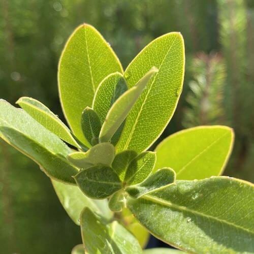 Buplèvre Ligneux (Bupleurum 'Fruticosum')