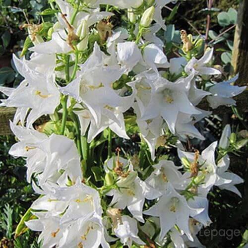 Campanule 'Pyramidale' Blanc Alba (Campanula 'Pyramidalis')
