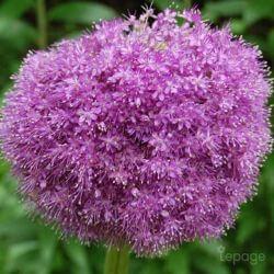 Ail d'Ornement (Allium 'Giganteum')