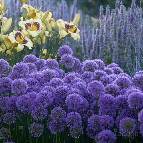 Ail d'Ornement (Allium 'Millenium')