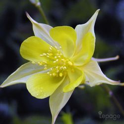 Ancolie Chrysanta 'Yellow Queen' (Aquilegia Chrysanta 'Yellow Queen')