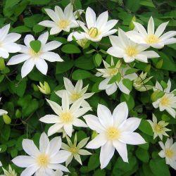 Clématite 'Wada's Primrose'