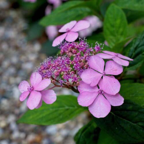 Hortensia Macrophylle 'Dolce Gipsy'