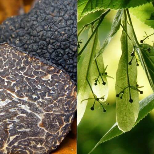 Tilleul des Bois Uncinatum - Conteneur 2L (Tilia Cordata)