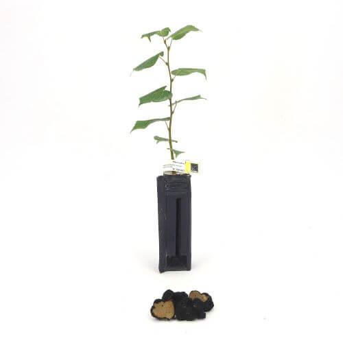 Tilleul des Bois Uncinatum (Tilia Cordata)