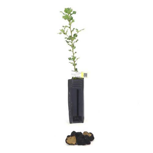 Chêne Vert Uncinatum (Quercus Ilex)