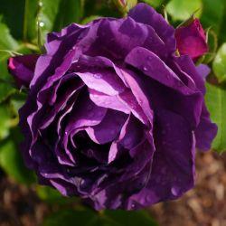 Rosier 'Purple Eden'