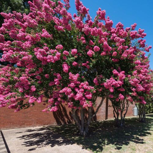 Lilas des Indes Rose (Lagerstroemia Indica)