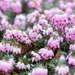 Bruyère Cendrée 'Darleyensis x George Rendall' (Erica Darleyensis x George Rendall)