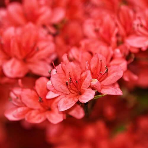 Rhododendron 'Wallowa Red' (Azalea mollis)