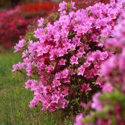 Rhododendron 'Jolie Madame' (Azalea mollis)