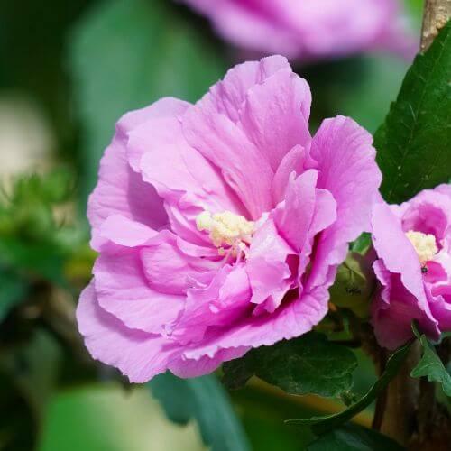 Althéa 'Ardens' (Hibiscus Syriacus)