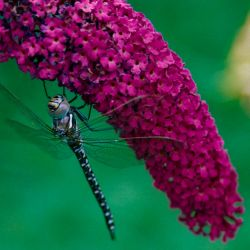 Arbre à Papillons 'Royal Red'