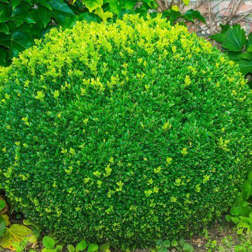 Buis Commun Nain (Buxus Sempervirens 'Nana')