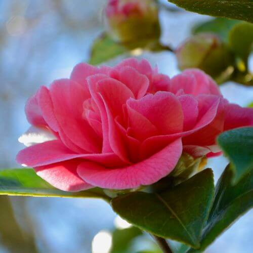 Camélia Williamsii 'Debbie' (Camellia Williamsii)