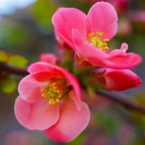 Cognassier du Japon 'Pink Lady' (Chaenomeles Speciosa)