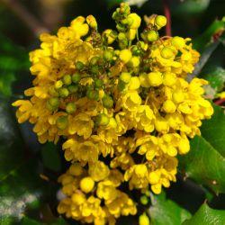 Epine Vinette de Juliana (Berberis Julianae)