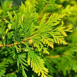 Cyprès de Lawson 'Yvonne' (Chamaecyparis Lawsoniana)