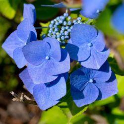 Hortensia Macrophylle 'Blaumeise' (Hydrangea Macrophylla)