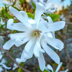 Magnolia Etoilé