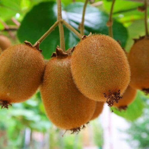 Kiwi Auto-fertile 'Boskoop'