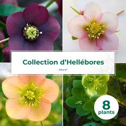 Collection de 8 Héllébores