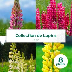 Collections de 8 Lupins